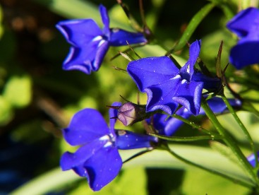 The Way Of The Witch Newsletter Plant Focus Lobelia The Way Of